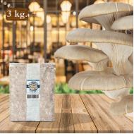 İstiridye Mantarı Tohumu 3 kg Hk35  Yeni Mahsul ( Rehber Hediyeli )
